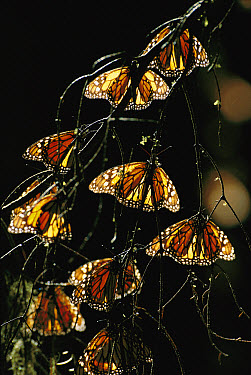 Monarch (Danaus plexippus) butterfly, group backlit on tree in wintering grounds, Monarch butterfly Biosphere Reserve, Michoacan, Mexico  -  Patricio Robles Gil/ Sierra Madr