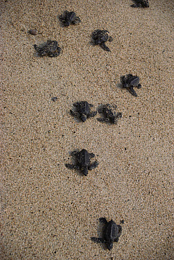 Olive Ridley Sea Turtle (Lepidochelys olivacea) hatchlings make their way to the ocean on Maruata beach, Pacific coast, Jalisco, Mexico  -  Patricio Robles Gil/ Sierra Madr