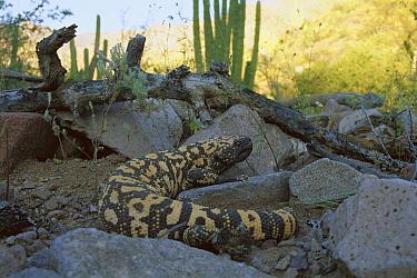 Gila Monster (Heloderma suspectum) adult in the Sonoran Desert, venomous species, Mexico  -  Patricio Robles Gil/ Sierra Madr