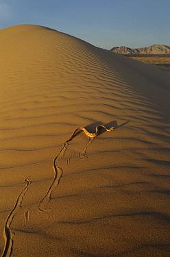 Sidewinder (Crotalus cerastes) rattlesnake moving across sand dunes, El Pinacate/Gran Desierto de Altar Biosphere Reserve, Sonora, Mexico  -  Patricio Robles Gil/ Sierra Madr