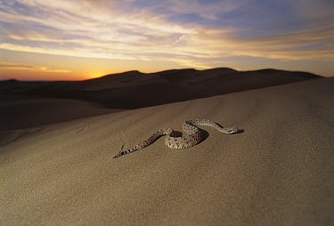 Sidewinder (Crotalus cerastes) rattlesnake moving across sand dunes at sunset, El Pinacate/Gran Desierto de Altar Biosphere Reserve, Sonora, Mexico  -  Patricio Robles Gil/ Sierra Madr