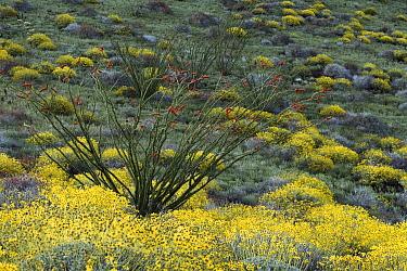 Ocotillo (Fouquieria splendens) and Brittlebush (Encelia californica), Sonoran Desert, El Pinacate/Gran Desierto de Altar Biosphere Reserve, Sonora, Mexico  -  Patricio Robles Gil/ Sierra Madr