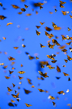 Monarch (Danaus plexippus) butterfly, mass flying in wintering grounds, Monarch butterfly Biosphere Reserve, Michoacan, Mexico  -  Patricio Robles Gil/ Sierra Madr