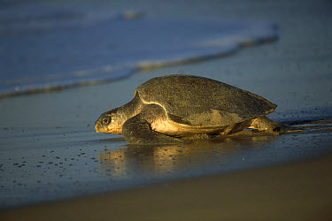 Olive Ridley Sea Turtle (Lepidochelys olivacea) female returning to the Pacific Ocean after laying eggs, Oaxaca, Mexico  -  Patricio Robles Gil/ Sierra Madr