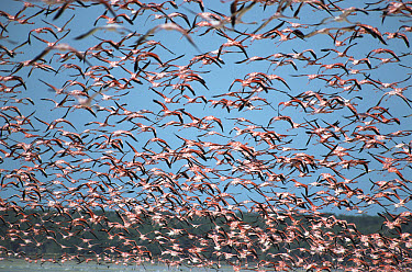Greater Flamingo (Phoenicopterus ruber) huge flock flying, Ria Celestun Biosphere Reserve, Yucatan-Campeche, Mexico  -  Patricio Robles Gil/ Sierra Madr
