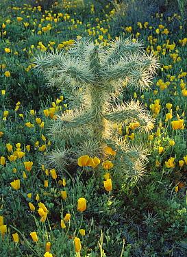 Teddy Bear Cholla (Cylindropuntia bigelovii) and California Poppies (Eschscholzia californica) in the Sonoran Desert, Tucson, Arizona  -  Patricio Robles Gil/ Sierra Madr