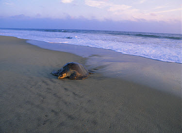 Olive Ridley Sea Turtle (Lepidochelys olivacea) adult coming onto the beach from the Pacific Ocean at sunset, Oaxaca, Mexico  -  Patricio Robles Gil/ Sierra Madr