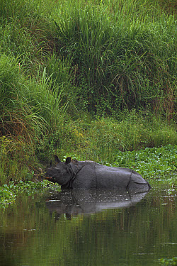 Indian Rhinoceros (Rhinoceros unicornis) in water, Royal Manas National Park, Bhutan  -  Patricio Robles Gil/ Sierra Madr