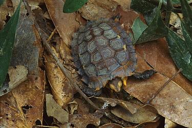 Eroded Hingeback Tortoise (Kinixys erosa) on forest floor, Tai National Park, Ivory Coast, Africa  -  Patricio Robles Gil/ Sierra Madr