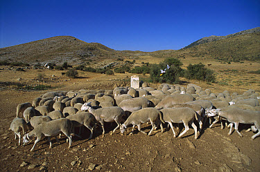 Domesitc Sheep (Ovis aries) herd in Casorla Mountains, southern Spain  -  Patricio Robles Gil/ Sierra Madr