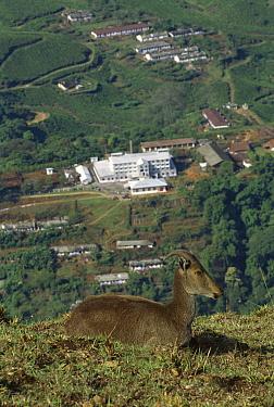 Nilgiri Tahr (Hemitragus hylocrius) overlooking urban landscape. Eravikulam National Park has lost most of its habitat to the tea plantations in the western Ghats hotspot, India  -  Patricio Robles Gil/ Sierra Madr