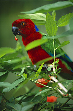 Red Shining-parrot (Prosopeia tabuensis) eating berry, endemic to Fiji and Tonga  -  Patricio Robles Gil/ Sierra Madr
