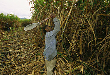 Sugar Cane worker using machete to cut down cane, Fiji, South Pacific  -  Patricio Robles Gil/ Sierra Madr