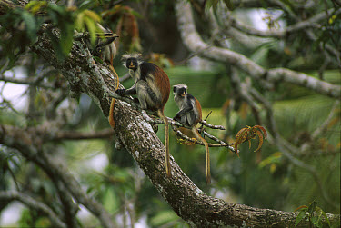 Zanzibar Red Colobus (Procolobus kirkii) mother and young in canopy, Jozani Forest, Zanzibar Island, Tanzania  -  Patricio Robles Gil/ Sierra Madr