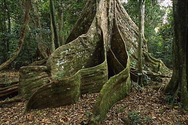 Buttressed roots in forest, Espiritu Santo Island, Vanuatu Archipelago, New Hebrides  -  Patricio Robles Gil/ Sierra Madr