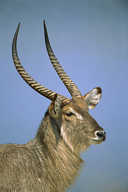 Waterbuck (Kobus ellipsiprymnus) portrait, Kruger National Park, South Africa  -  Patricio Robles Gil/ Sierra Madr