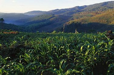 Corn (Zea sp) fields Usambara Mountains, northern Tanzania  -  Patricio Robles Gil/ Sierra Madr