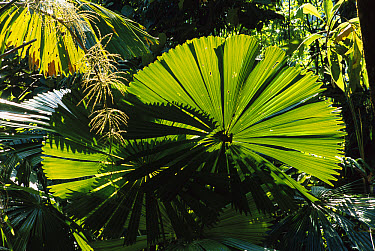 Australian Fan Palm (Livistona australis) illuminated by sunlight, Daintree National Park, Queensland, Australia  -  Patricio Robles Gil/ Sierra Madr