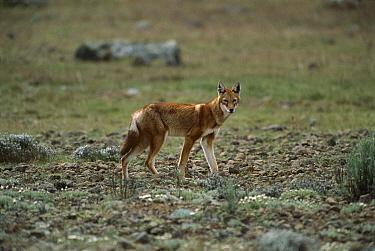Ethiopian Wolf (Canis simensis), Bale Mountain, Ethiopia  -  Patricio Robles Gil/ Sierra Madr