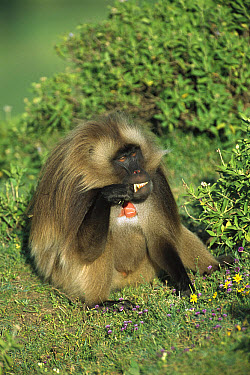 Gelada Baboon (Theropithecus gelada) eating in the sun, western Ethiopian Highlands  -  Patricio Robles Gil/ Sierra Madr