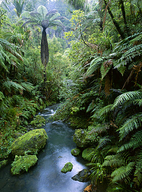 Tree Fern (Dicksonia sp) growth along a stream in the rainforest, New Zealand  -  Patricio Robles Gil/ Sierra Madr