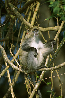 Blue Monkey (Cercopithecus mitis) sitting in tree, subspecies endemic to Maputoland Pondoland, Albany, South Africa  -  Patricio Robles Gil/ Sierra Madr