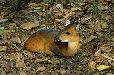 Yellow-backed Duiker (Cephalophus silvicultor) resting on forest floor, Ivory Coast, western Africa  -  Patricio Robles Gil/ Sierra Madr