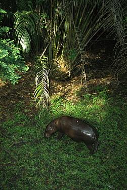 Pygmy Hippopotamus (Hexaprotodon liberiensis) grazing, Ivory Coast, western Africa  -  Patricio Robles Gil/ Sierra Madr