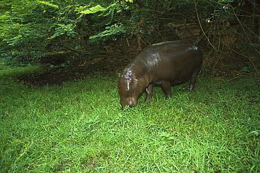 Pygmy Hippopotamus (Hexaprotodon liberiensis) grazing in grassland, Ivory Coast, western Africa  -  Patricio Robles Gil/ Sierra Madr