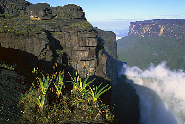 Endemic flora on a Tepui, Roraima Mountain in Canaima National Park, Venezuela  -  Patricio Robles Gil/ Sierra Madr