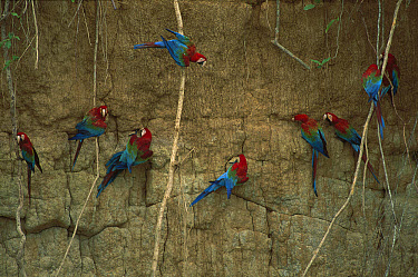 Red and Green Macaw (Ara chloroptera) flock feeding at clay lick at Madre de Dios River, Manu National Park, Peru  -  Patricio Robles Gil/ Sierra Madr