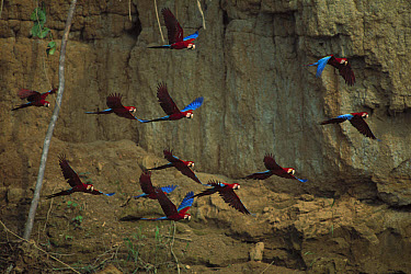 Red and Green Macaw (Ara chloroptera) flying away from clay lick at Madre de Dios River, Manu National Park, Peru  -  Patricio Robles Gil/ Sierra Madr