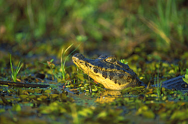 Black Caiman (Melanosuchus niger) emerging from wetland, Pantanal, Brazil  -  Patricio Robles Gil/ Sierra Madr