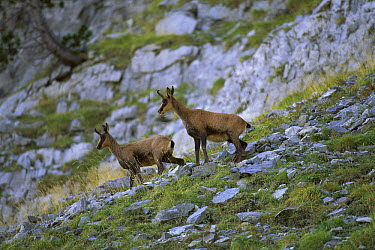 Pyrenean Chamois (Rupicapra pyrenaica pyrenaica) pair climbing in the Ordesa National Park, Pyrennes, Spain  -  Patricio Robles Gil/ Sierra Madr
