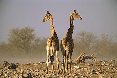Angolan Giraffe (Giraffa giraffa angolensis) pair facing opposite directions, Etosha National Park, Namibia  -  Patricio Robles Gil/ Sierra Madr