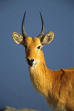 Puku (Kobus vardonii) portrait, Moremi Game Reserve, Botswana  -  Patricio Robles Gil/ Sierra Madr