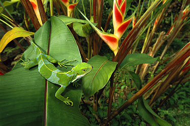 Fiji Crested Iguana (Brachylophus vitiensis) beside Heliconia, endemic to Fiji and Tonga  -  Patricio Robles Gil/ Sierra Madr