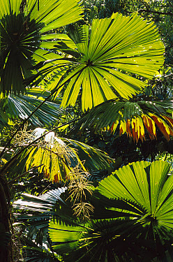 Australian Fan Palm (Livistona australis) in rainforest interior, Daintree National Park, Queensland, Australia  -  Patricio Robles Gil/ Sierra Madr