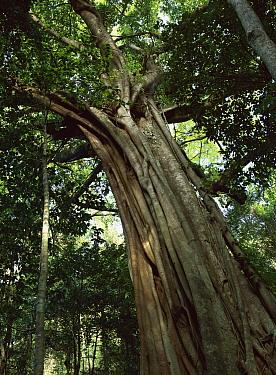 Fig (Ficus sp) in tropical rainforest, Daintree National Park, Queensland, Australia  -  Patricio Robles Gil/ Sierra Madr