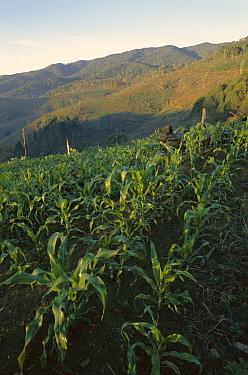 Corn fields in the Usambara Mountains, northern Tanzania  -  Patricio Robles Gil/ Sierra Madr