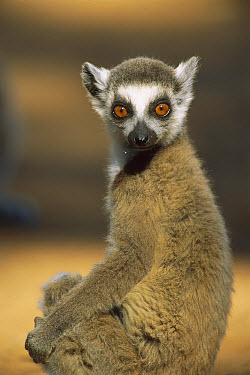 Ring-tailed Lemur (Lemur catta), Berenty Reserve, Madagascar  -  Patricio Robles Gil/ Sierra Madr