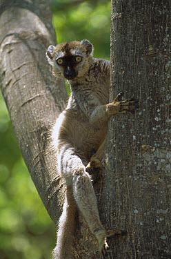 Common Brown Lemur (Eulemur fulvus) in tree, Anjajavy, northwestern Madagascar  -  Patricio Robles Gil/ Sierra Madr