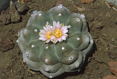 Peyote (Lophophora williamsii) has psychedelic properties, occurs in the southwestern US and northern Mexico  -  Patricio Robles Gil/ Sierra Madr