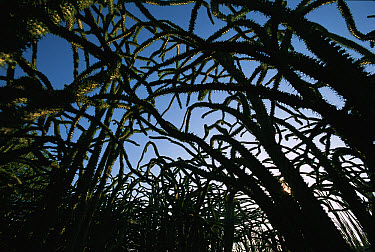 Octopus Tree (Didierea madagascariensis) forest at dusk, Spiny Desert, south Madagascar  -  Patricio Robles Gil/ Sierra Madr