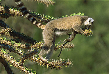 Ring-tailed Lemur (Lemur catta) eating fresh leaves from Octopus Tree (Didierea madagascariensis), Spiny Desert, Madagascar  -  Patricio Robles Gil/ Sierra Madr