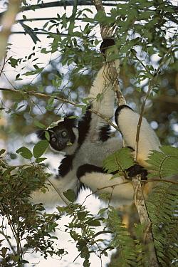 Indri (Indri indri) in tree, eastern Madagascar  -  Patricio Robles Gil/ Sierra Madr