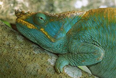 Parson's Chameleon (Calumma parsonii) portrait, Madagascar  -  Patricio Robles Gil/ Sierra Madr