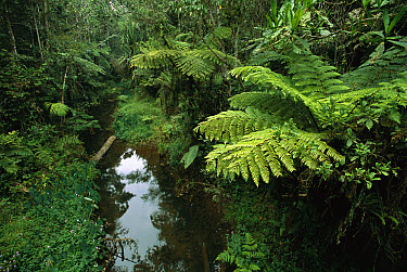 Eastern rainforest region Perinet Reserve, Andasibe, Madagascar  -  Patricio Robles Gil/ Sierra Madr