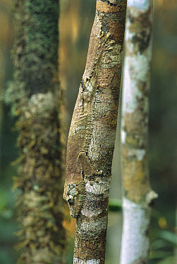 Gecko (Uroplatus sp) clinging to branch, Madagascar  -  Patricio Robles Gil/ Sierra Madr