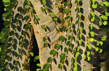 Madagascan Ocotillo (Alluaudia procera) showing fresh leaves, Spiny Desert, South Madagascar  -  Patricio Robles Gil/ Sierra Madr